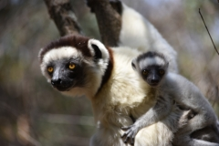Baby Lemur and mother