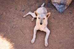 Madagascar dog